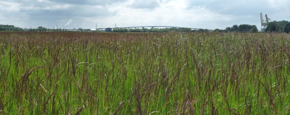 Friche à calamagrostis commun